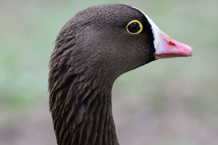 Head shot of a lesser white fronted goose (anser erythropus)