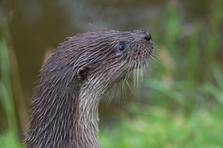 Head shot of a Eurasian otter (lutra lutra)