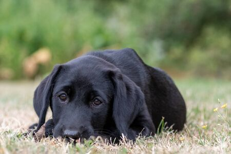 Portrait of an 11 week old black Labrador relaxing on the grass 写真素材 - 131755465