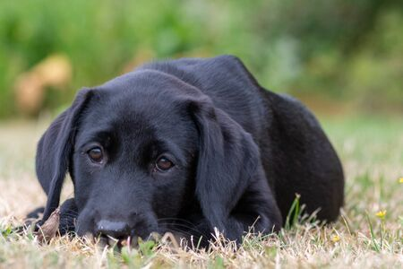 Portrait of an 11 week old black Labrador relaxing on the grass