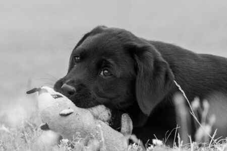 Cute portrait of an 8 week old black Labrador puppy playing with a cuddly toy 写真素材 - 131755476
