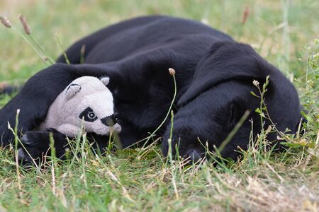 Cute portrait of an 8 week old black Labrador puppy lying on the grass with it's favourite toy 写真素材 - 131755477