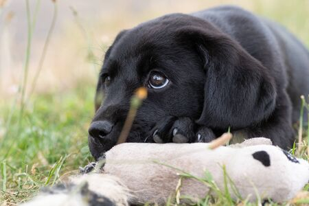 Cute portrait of an 8 week old black Labrador puppy sitting on the grass with its favourite toy 写真素材
