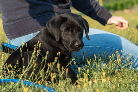 Portrait of an 8 week old black Labrador puppy sitting in the grass with it's owner 写真素材 - 131755479