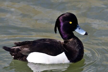 Portrait of a male tufted duck (aythya fuligula) swimming in the water