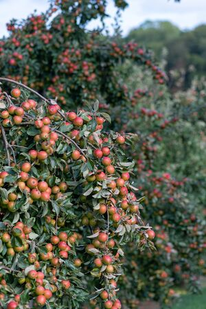 Close up of a heavy crop of red Tremlett bitter cider apples on the tree in an orchard. 写真素材