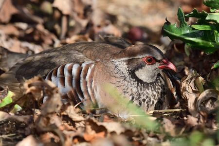 Close up portrait of a French partridge (alectoris rufa) sitting on the ground