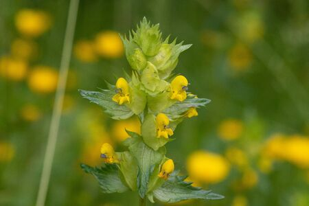 Close up of a yellow rattle plant (rhinanthus) in bloom