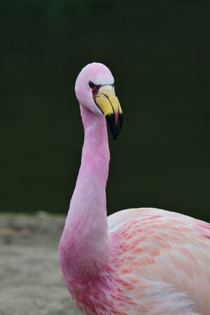 Close up portrait of a Jamess flamingo (phoenicoparrus jamesi) by the waters wdge.