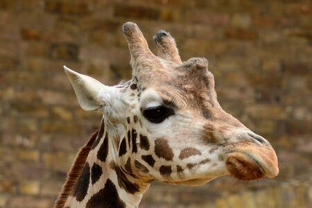 Head shot of a giraffe in a zoo Stock Photo