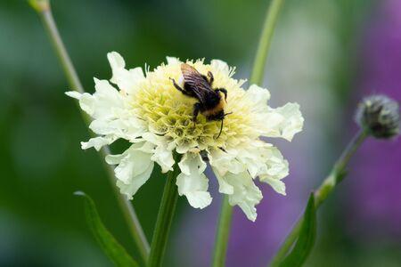 Close up of a bee pollinating a cream pincushion (scabiosa ochroleuca) flower Stock fotó