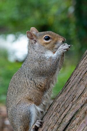 Portrait of an eastern gray squirrel (sciurus carolinensis) eating a nut. Stok Fotoğraf