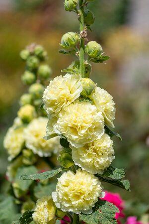 Close up of hollyhock (alcea) flowers in bloom.