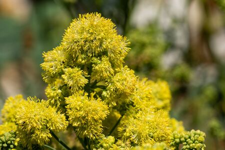 Close up of yellow meadow rue (thalicum flavum) in bloom. 写真素材