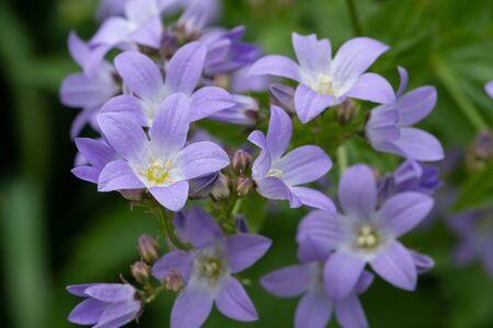 Close up of a milky bellflower (campanula lactiflora) plant in bloom 写真素材