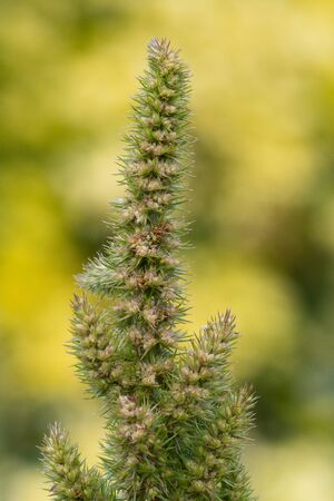 Close up of a millet plant in bloom