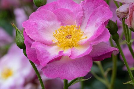 Close up of a pink rosa escapade flower in bloom 写真素材