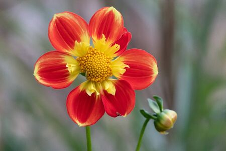 Close up of a red and yellow dahlia flower in bloom.