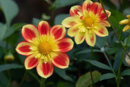 Close up of red and yellow dahlia flowers in bloom.