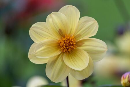 Close up of a yellow dahlia flower in bloom.