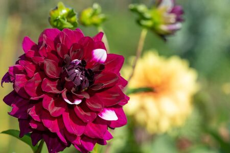 Close up of a red dahlia flower in bloom.