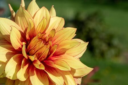 Close up of a yellow dahlia flower in the garden.