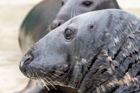 Head shot of an adult grey seal (halichoerus grypus)
