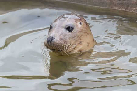 Portrait of a young grey seal (halichoerus grypus) with it's head out of the water