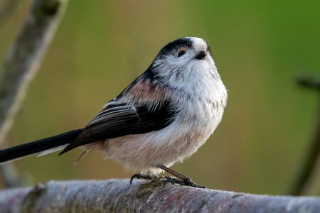 Close up of a long tailed tit (aegithalos caudatus) perching on a branch. Banco de Imagens