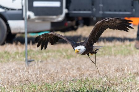 Close up of a bald eagle (haliaeetus leucocephalus) flying low to the ground during a falconry demonstration.
