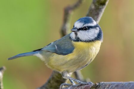 Close up of a blue tit (cyanistes caeruleus) perching on  branch. Foto de archivo