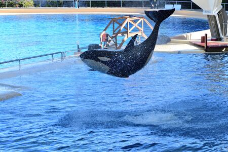 Portrait of a killer whale (orcinus orca) jumping out of the water at a whale show