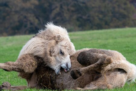 Portrait of a bactrian camel (camelus bactrianus) lying on the grass while trying to scratch itself with it's teeth.
