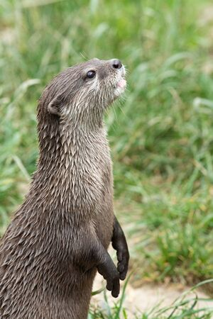 Portrait of an Asain small clawed otter (amblonyx cinerea) standing up