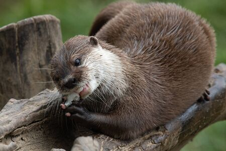 Portrait of an Asian small clawed otter (amblonyx cinerea) eating a fish