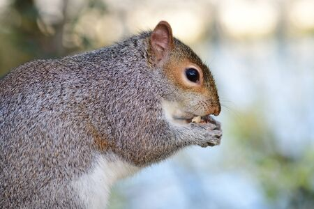 Sidee view of a grey squirrel (sciurus carolinensis) eating a nut