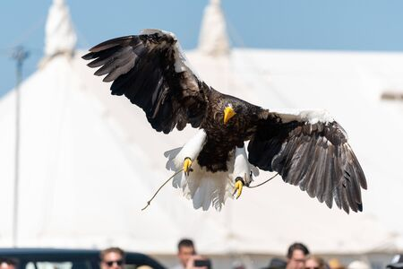 Close up of a Stellers sea eagle (haliaeetus pelagicus) flying in a falconry demonstration.
