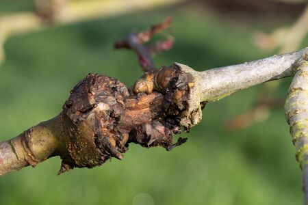Close up of canker on an apple tree