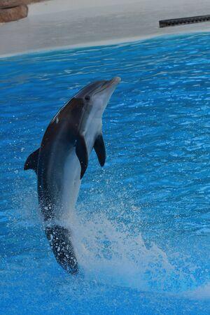 Gros plan d'un dauphin dans un spectacle de dauphins