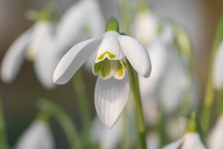 Close up of snowdrops (galanthus nivalis) in bloom