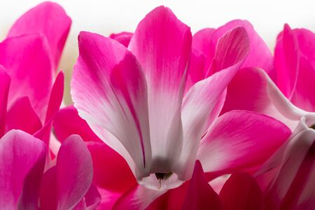 Close up of cyclamen persicum flowers in bloom