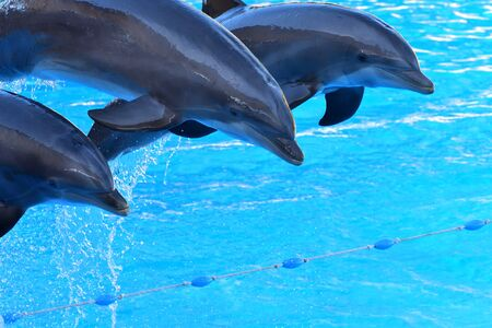 Dolphins jumping out of the water during a dolphin show