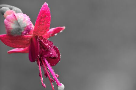Macro shot of a pink fuchsia flower covered in dew droplets Banco de Imagens