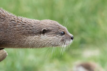Head shot of an Asian small clawed otter (amblonyx cinerea) sitting on a log