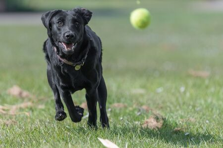 Close up of a black Labrador puppy chasing a tenis ball in mid air