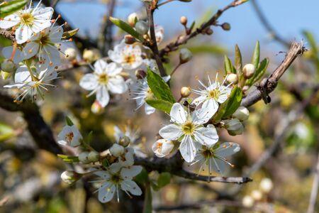 Close up of pollinated sloe blossom (prunus spinosa)