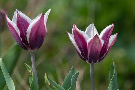 Close up of purple and white tulips in bloom