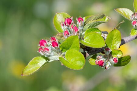 Close up of apple blossom on a branch at pink cluster stage 写真素材