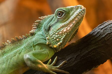 Close up portrait of a Chinese water dragon (physignathus cocincinus) on a branch