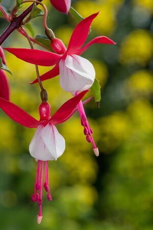 Close up of pink and white fuchsias in bloom